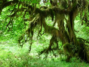 Hoh Rainforest - Olympic National Park